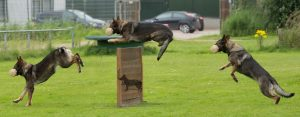 Honden springt over obstakel.